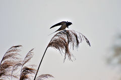 Swallow on reed Royalty Free Stock Photo