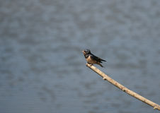 Swallow. A Swallow rests on a branch over the water between flights to catch small insects to eat stock image