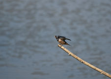 Swallow. A Swallow rests on a branch over the water between flights to catch small insects to eat royalty free stock photo