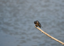 Swallow. A Swallow rests on a branch over the water between flights to catch small insects to eat royalty free stock images