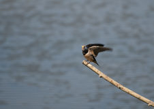 Swallow. A Swallow rests on a branch over the water between flights to catch small insects to eat stock photography