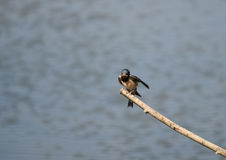 Swallow. A Swallow rests on a branch over the water between flights to catch small insects to eat royalty free stock image