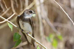 Swallow, Riparia riparia. Image of swallow sitting on a branch Stock Image