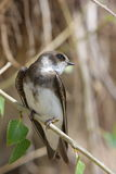 Swallow, Riparia riparia. A swallow sits  on a branch Stock Photography