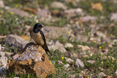 Swallow on Looking Right (Hirundo rustica). A swallow is looking right on a piece of rock royalty free stock photos