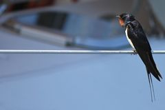 Swallow on a rope. Swallow sitting on a rope looking out for its mate Royalty Free Stock Photo
