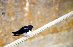 Swallow on Rope Royalty Free Stock Photography