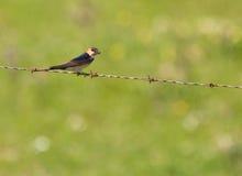 Swallow Rosso-rumped che costruisce il nido Fotografia Stock