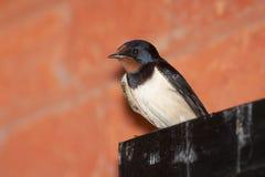 Swallow - rustica del Hirundo Immagine Stock