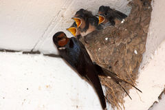 Swallow - rustica del Hirundo Immagine Stock Libera da Diritti