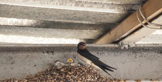Little swallows into the nest. Swallow's Nest with Baby Barn Swallow patiently awaits feeding from parents stock photo
