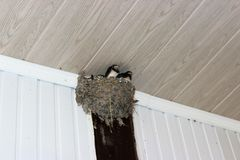 Swallow`s nest, twisted under a roof of a verandah stock images