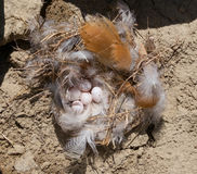 Swallow Sand Martin and its nest with eggs Stock Images