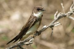 Swallow Sand Martin riparia riparia Stock Photos