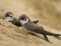 Swallow Sand Martin riparia riparia Stock Photo