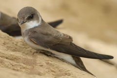 Swallow Sand Martin riparia riparia Stock Photography