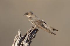 Swallow Sand Martin (Riparia riparia) Stock Image