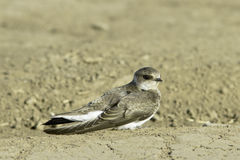 Swallow Sand Martin / Riparia riparia Stock Photo
