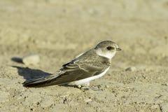 Swallow Sand Martin / Riparia riparia Stock Image