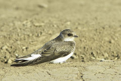 Swallow Sand Martin / Riparia riparia Royalty Free Stock Image