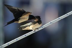 Swallow - sensitivity and delicacy when feeding offspring. Swallow, beautiful eyes of a bird, beautiful feathers, feeding a young bird, long beak, outstretched Stock Photography