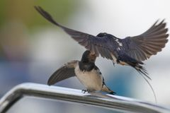 Swallow - sensitivity and delicacy when feeding offspring. Swallow, beautiful eyes of a bird, beautiful feathers, feeding a young bird, long beak, outstretched Royalty Free Stock Image