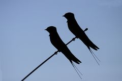 Swallow silhouette Royalty Free Stock Photography