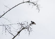 Swallow silhouette in tree very stark contrast black and white royalty free stock images