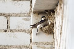 The swallow is sitting in the nest. Swallow sits in a nest under the roof of a multi-storey building Stock Photo