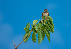 Swallow sitting on Cherry Tree Branch Stock Image