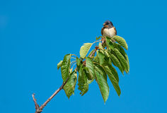 Swallow sitting on Cherry Tree Branch Stock Photos