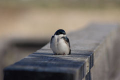Swallow Sitting on a Fence Rail Royalty Free Stock Photos
