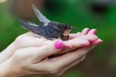 Swallow sitting on a palms Stock Photo