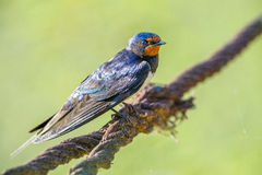 Swallow sitting on reed in Danube Delta, Romania Stock Photo