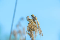 Swallow sitting on reed in Danube Delta, Romania Royalty Free Stock Photo