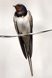 Swallow sitting on wire. Swallow on wire close-up over gray Royalty Free Stock Photos