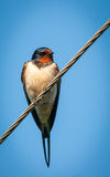 Swallow sitting on wires Royalty Free Stock Photos