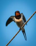 Swallow sitting on wires Stock Image