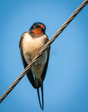Swallow sitting on wires Royalty Free Stock Image