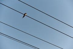 Swallow sitting on wires of power lines, with space for your tex Royalty Free Stock Images
