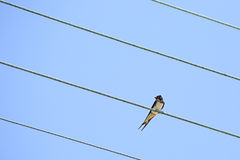 Swallow sitting on wires. Royalty Free Stock Photography