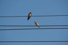 Swallow and sparrow Stock Photo