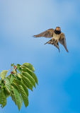 Swallow Starts to Fly from a Branch Stock Photos