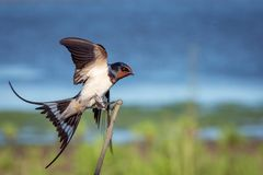 Swallow on stick Royalty Free Stock Image