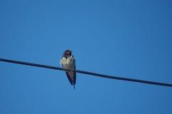 Swallow su un collegare Immagini Stock