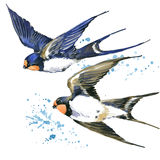 Swallow. Swallow watercolor illustration. Stock Images