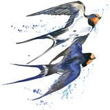 Swallow. Swallow watercolor illustration. Royalty Free Stock Photos