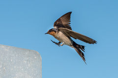 Swallow swift on the deep blue cloudy sky Royalty Free Stock Photography
