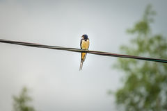 Swallow swift perching on a wire Royalty Free Stock Photo