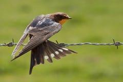 Swallow tail Royalty Free Stock Photos